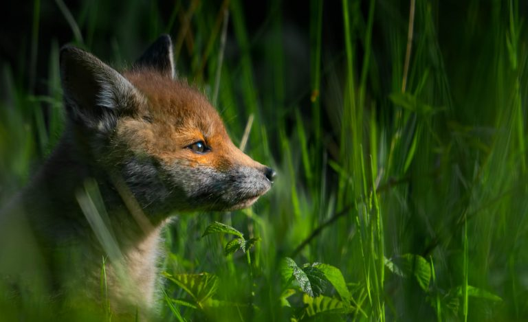 Fox Hide
