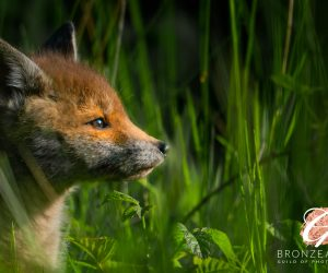 Fox cub IOM Bronze