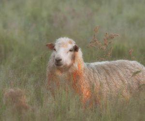 Sheep_